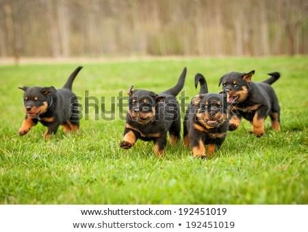 Chiot rottweiler blanche chien studio Photo stock © cynoclub