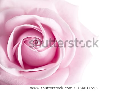 Pink rose with shallow depth of field Stock photo © Zhukow