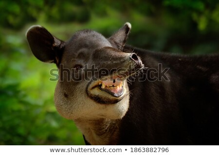 Head of Tapir Stock photo © Klinker