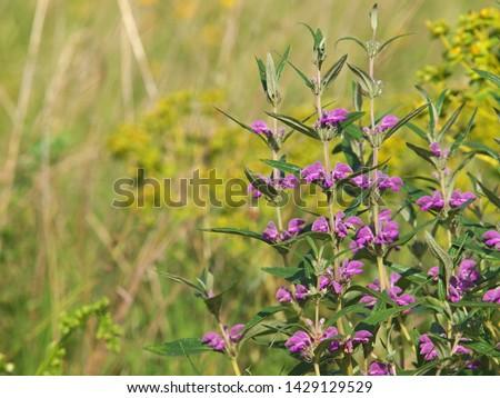 Lila vadvirág virág levél zöld rózsaszín Stock fotó © LianeM