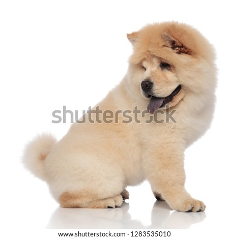 side view of cute chow chow sitting and panting Stock photo © feedough