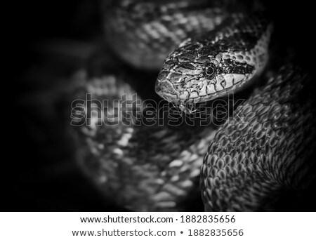 ヘビ 肖像 美しい 成人 動物 スケール ストックフォト © taviphoto