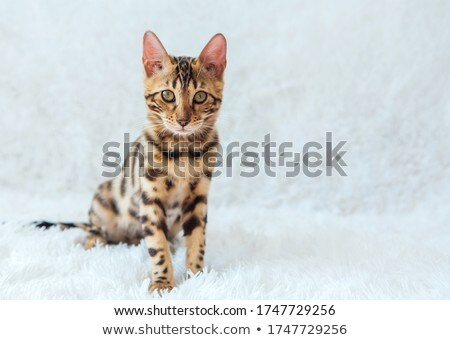 Beautiful bengal cat sitting on white table at home with the pla Stock photo © dashapetrenko