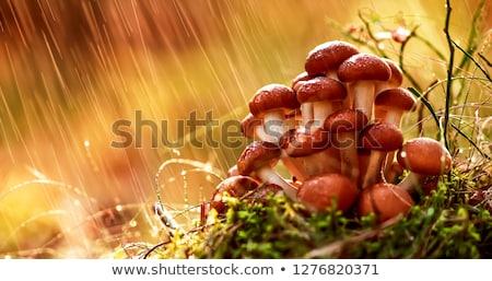 ストックフォト: キノコ · はちみつ · 晴れた · 森林 · 菌 · ウクライナ