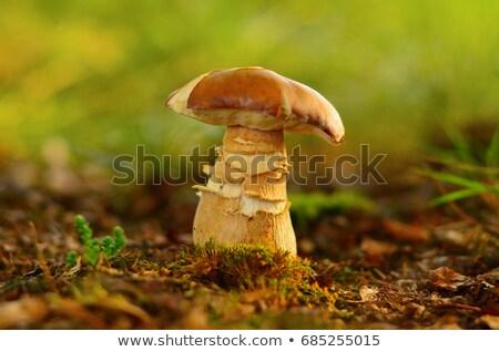 nice porcini mushroom grows Stock photo © romvo