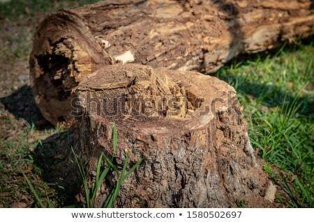 Edad árbol corte jardinero naturales madera Foto stock © galitskaya