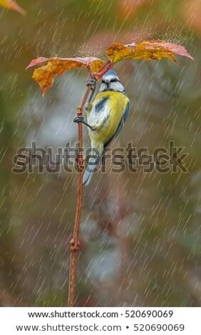 Niebieski tit deszcz mały ogród ptaków Zdjęcia stock © suerob