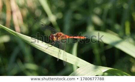 ruddy darter dragonfly sympetrum sanguineum stock photo © chris2766