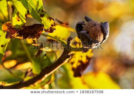 walnuts on the tree stock photo © franky242