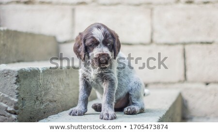 portrait of german short haried pointing dog stock photo © capturelight