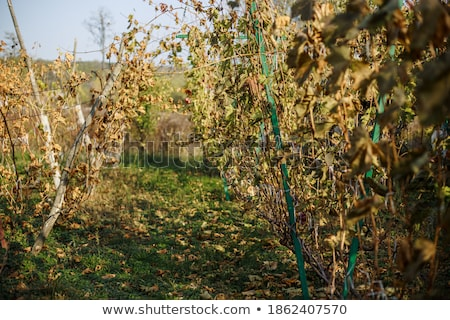 Autumn grapevine on grey Stock photo © Anterovium