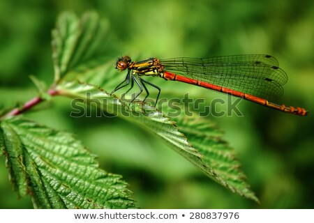 red damselfly stock photo © chris2766