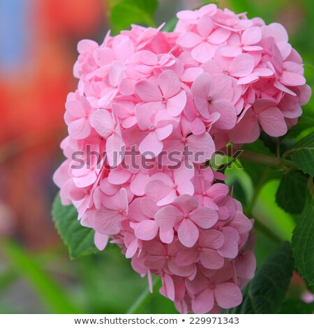 pink Hydrangea macrophylla in garden Stock photo © compuinfoto