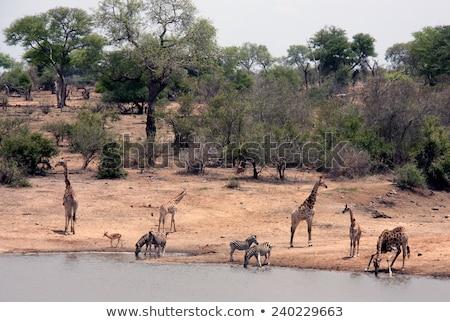 Drinking Zebra in the Kruger National Park stock photo © simoneeman