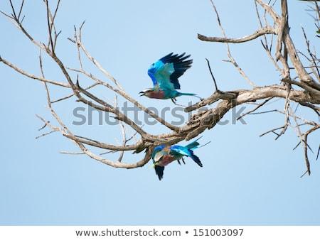 Fatörzs park madár kék madarak Afrika Stock fotó © simoneeman