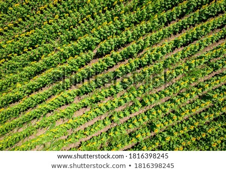 drone view of young sunflower field stock photo © stevanovicigor