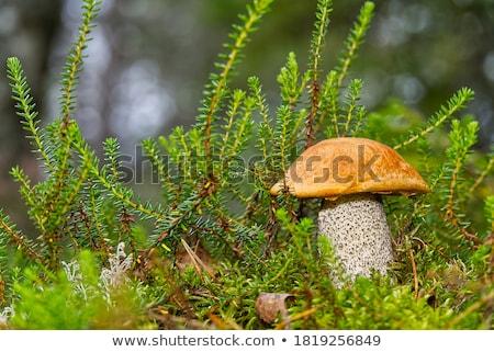 Cogumelo vermelho musgo grande laranja boné Foto stock © romvo