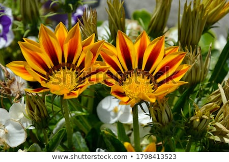 macro close up of a colorful south african gazania flower stock photo © latent