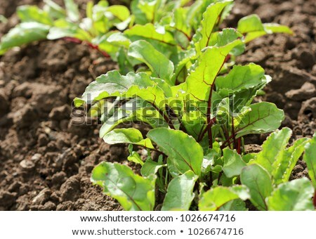 Young green beetroot plans on a path in the vegetable garden Stock photo © Virgin