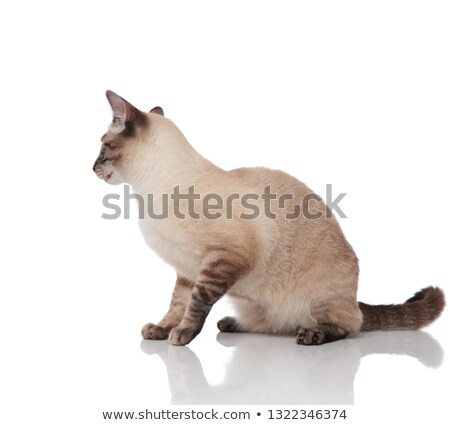 side view of seated burmese cat looking down to side Stock photo © feedough