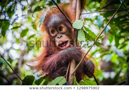 Orangutans Stock photo © colematt