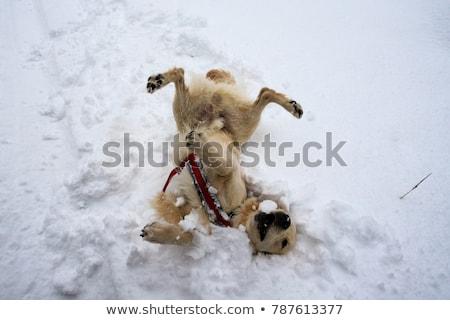 kutya · játszik · hó · francia · bulldog · férfi - stock fotó © leonardi