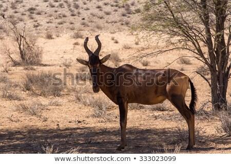 Common Tsessebe In Africa Zdjęcia stock © Artush