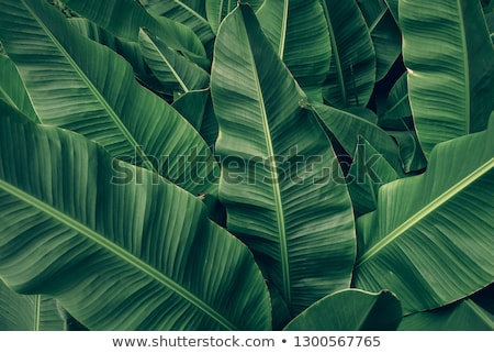 Banana leaf background Stock photo © jakgree_inkliang