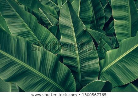 Muz yaprak doku ağaç gıda doğa Stok fotoğraf © jakgree_inkliang
