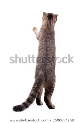 cat standing on its hind legs reaching  Stock photo © feedough