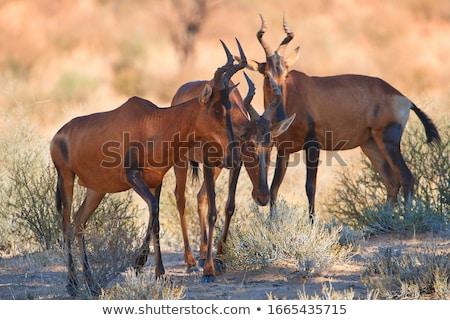 red hartebeest landscape stock photo © ecopic