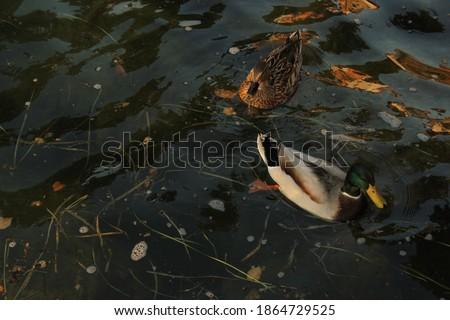 Nadar carpa Colorado río Foto stock © emattil