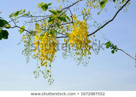 Cassia Fistula in clear blue sky. national tree of Thailand Stock photo © nuiiko