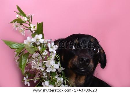 Sharpei köpek yavrusu arkasında yalıtılmış beyaz geri Stok fotoğraf © Nejron