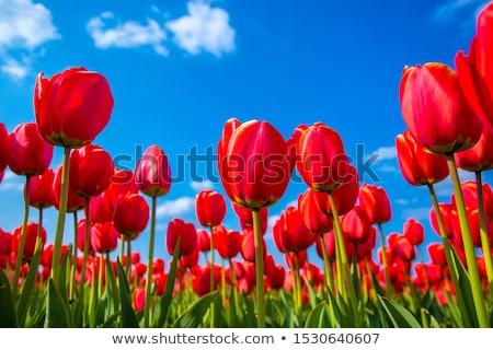 весенние · цветы · три · красивой · тюльпаны · саду · цветок - Сток-фото © janpietruszka