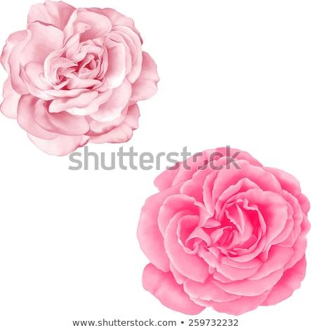 Vector of fresh pink flower. Stock photo © Morphart