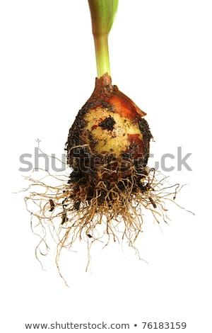 tulipán · ültet · fehér · konyha · törölköző · előkészített - stock fotó © g215