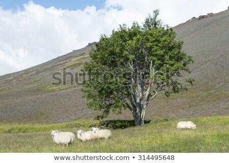 白 羊 緑 フィールド アイスランド ストックフォト © Kotenko