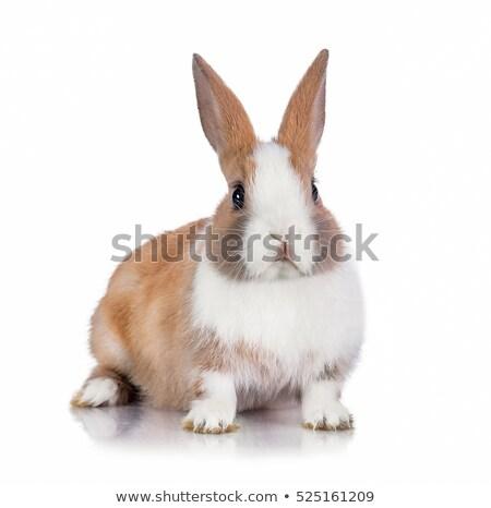 Cüce tavşan stüdyo beyaz çiftlik tavşan Stok fotoğraf © cynoclub