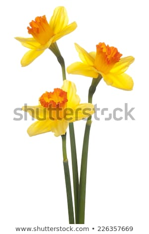 Daffodil flower in yellow color Stock photo © colematt