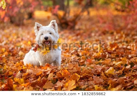 Foto stock: Retrato · cute · oeste · blanco · terrier
