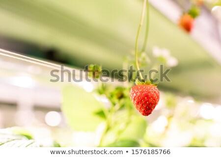 Kırmızı olgun iştah açıcı çilek asılı Stok fotoğraf © pressmaster