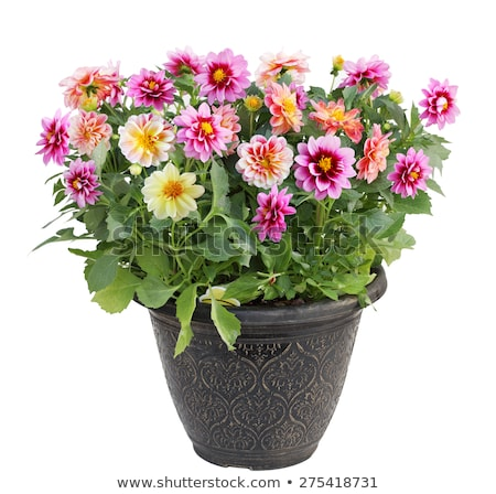 Isolated potted dahlia flower Stock photo © manfredxy