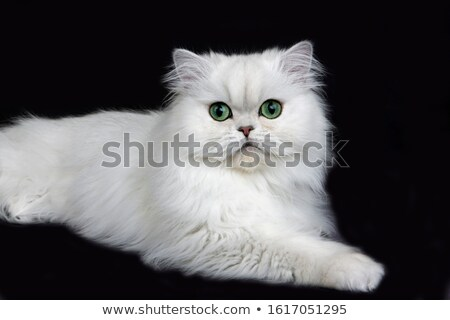 チンチラ 猫 眼 背景 緑 ストックフォト © Ansonstock