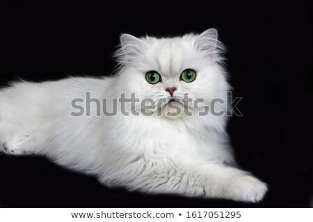 Chinchilla chat quelque chose oeil fond vert Photo stock © Ansonstock