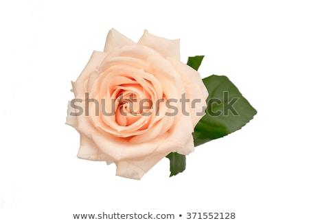 delicate beige roses stock photo © elenaphoto