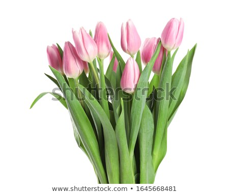 bunch of tulips isolated stock photo © nurrka