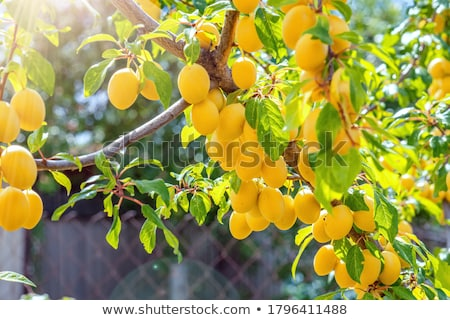 ripe cherry plum stock photo © masha