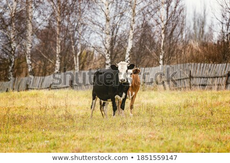 Two little cow on autumn pasture. Stock photo © lypnyk2