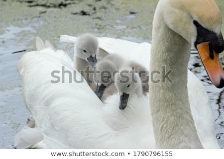 hattyú · tó · család · tavasz · természet · szépség - stock fotó © prill